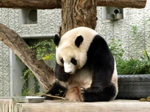 モテる姿勢のパンダ画像