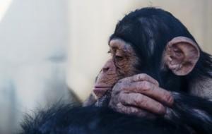 ジゴロパンダのプロフィール3のチンパンジー画像